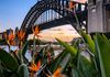 Birds of paradise by the Harbour Bridge