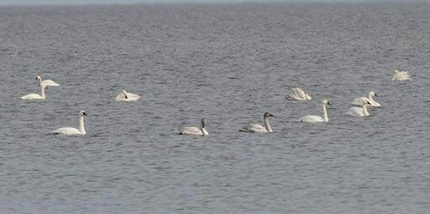 Swan hunting, Currituck County, North Carolina, Virginia, Fourth Generation Outfitters