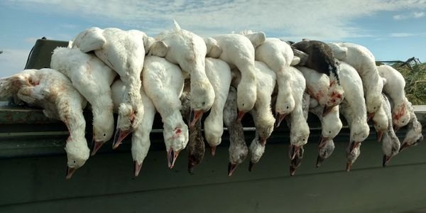 Snow Goose hunting, Currituck County, North Carolina, Fourth Generation Outfitters