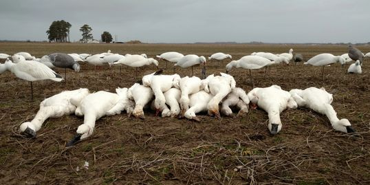 Snow Goose hunting, Swan hunting, Currituck County, North Carolina, Fourth Generation Outfitters