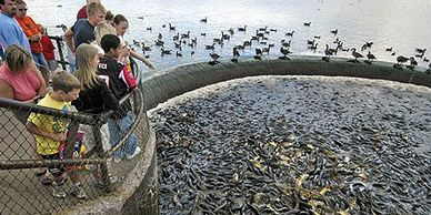 Children watching thousands of fish in the water at Pymatuning Spillway.