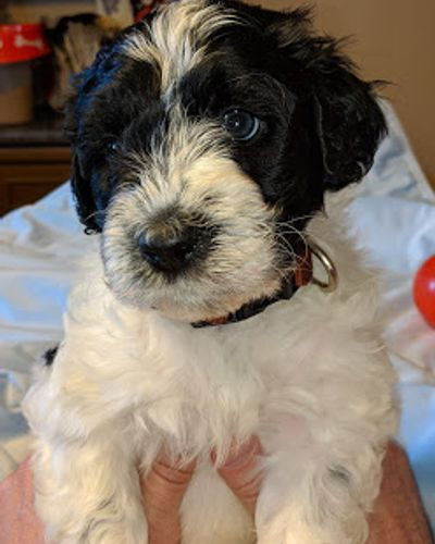 Stacy's PWD Portuguese Water Dogs - Portuguese Water Dogs