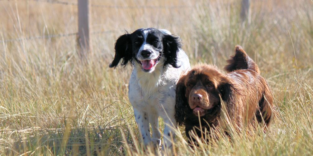 Field bred English Springer Spaniels and Sussex Spaniels in Montana