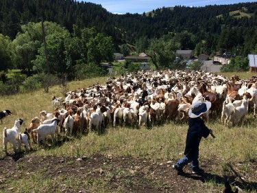 Small boy herding goats with a work dog and staff.