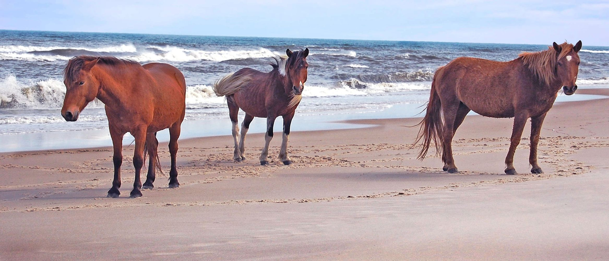 Wild Horses of Assateague Island, Maryland.