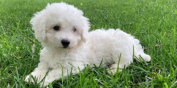 Male bichon frise puppy for sale at R Little Puppies, bichons, pet, Registered. Rlittlepuppies.net