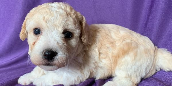 Bichonpoos bichon poodle puppy male R little puppies Kansas Nebraska Missouri ready for Christmas