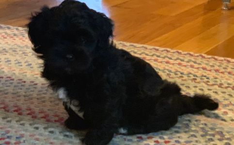 Male teddy bear puppy for sale at R Little Puppies, bichon frise, shih tzu, shichon, zushon, pet