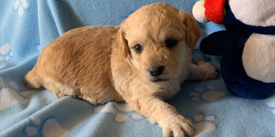 Male miniature labradoodle puppy for sale at R Little Puppies, labradoodles, lab, poodle, cute pet
