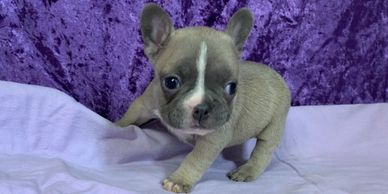 Female AKC French Bulldog puppy, frenchie puppies in Kansas, Iowa, Missouri, Nebraska