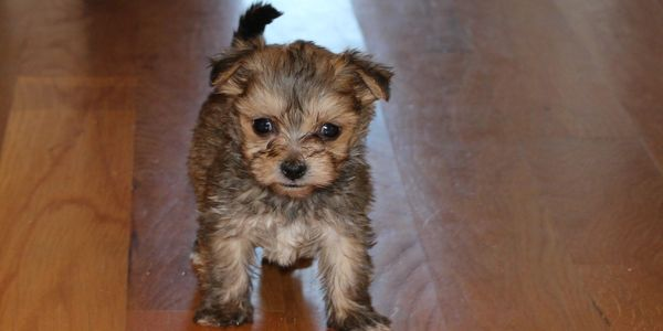 Female morkie puppy for sale at R Little Puppies, adorable, rlittlepuppies.net, contact us now, tiny
