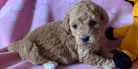 Female miniature labradoodle puppy for sale at R Little Puppies, labradoodles, lab, poodle, cute pet