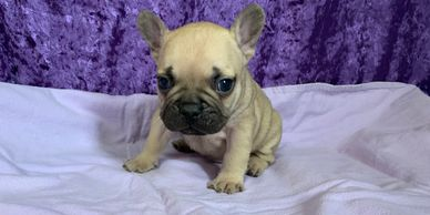 Male AKC French Bulldog puppy, frenchie puppies in Kansas, Iowa, Missouri, Nebraska
