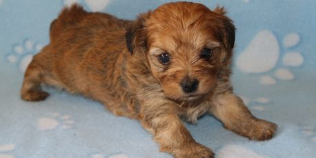 Adorable yorkiepoo male puppy, yorkie poo, available a R Little Puppies, rlittepuppies.net, cute