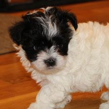 Adorable black and white maltipoo male, ACHC registered at R Little Puppies, rlittlepuppies.net, dog