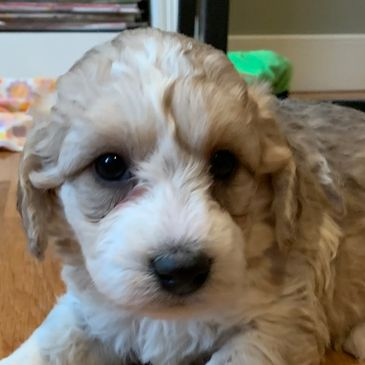 Best puppies in Kansas, healthy pets, miniature F1b labradoodles, Bulldog puppies, designer dogs