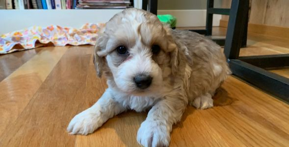 Cutest Male miniature Labradoodle in Kansas, lab poodle puppy at r little puppies, Nebraska doodle
