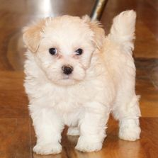 Adorable white and cream maltipoo male, ACHC registered at R Little Puppies, rlittlepuppies.net, dog