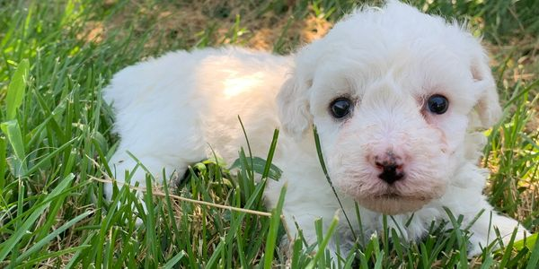 Female bichon frise puppy for sale at R Little Puppies, bichons, pet, Registered. Rlittlepuppies.net