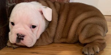 English Bulldog Puppy male available Rlittlepuppies.net R Little Puppies Bulldogs Kansas cute pets