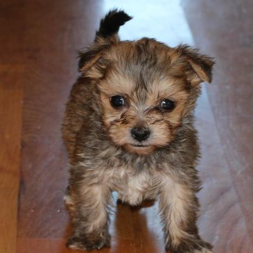 Morkie for sale in Kansas, bulldogs, puppy, rlittlepuppies.net, R Little Puppies mini labradoodles