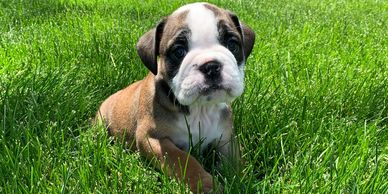 English Bulldog Puppy female available Rlittlepuppies.net R Little Puppies Bulldogs Kansas cute pets