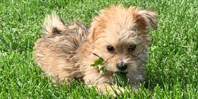 Male morkie puppy sale adoption yorkie Maltese Rlittlepuppies.net r little puppies Kansas Nebraska