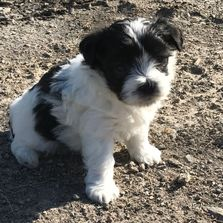 Female maltipoo, registered, puppy for sale at rlittlepuppies.net, R Little Pupy, playful, pie bald