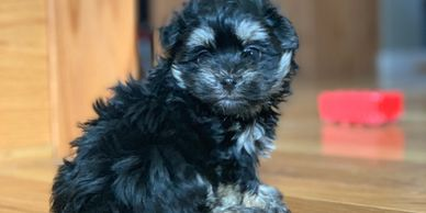 black brown female maltipoo puppy for sale R Little Puppies maltese poodle, rlittlepuppies.com adopt