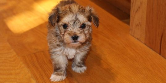 Male morkie puppy for sale at R Little Puppies, adorable, rlittlepuppies.net, contact us now, small