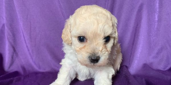 Bichonpoos bichon poodle puppy female R little puppies Kansas Nebraska Missouri ready for Christmas