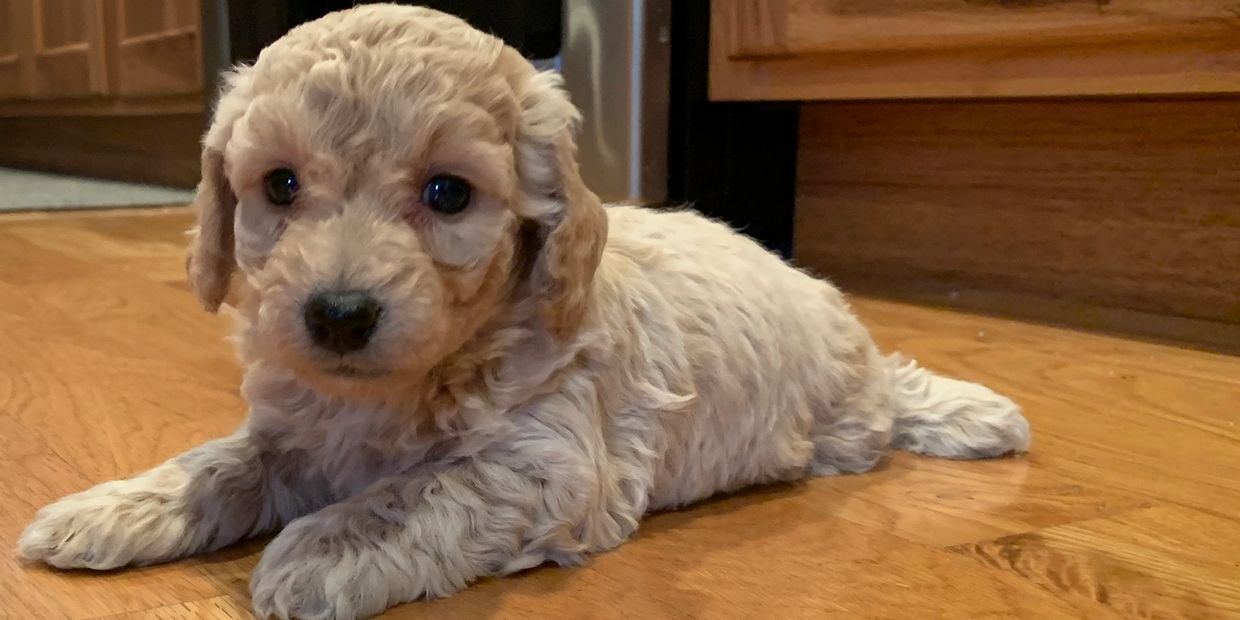 Cutest Female miniature Labradoodle in Kansas, lab poodle puppy at r little puppies, Nebraska doodle