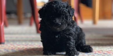 black female maltipoo puppy for sale R Little Puppies, maltese, poodle, rlittlepuppies.com adoption
