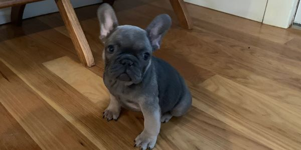 Best Female frenchie, French Bulldog puppy, Puppies, AKC, Kansas, Nebraska, Colorado, Missouri bully