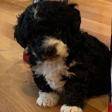 Miniature F1b labradoodles for sale or adoption in Kansas, labradoodle puppies, puppy, playful cute