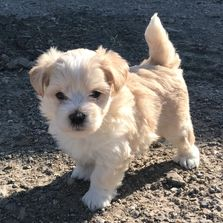 male maltipoo, registered, puppy for sale at rlittlepuppies.net, R Little Puppies, playful, cream