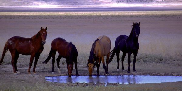 Creating solutions to keep wild horses wild  on public lands.