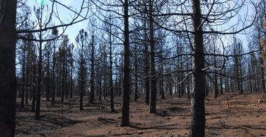 Plantation with 100% mortality burned in the 2014 King Fire in El Dorado County, California