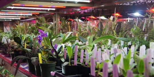 orchids under lights