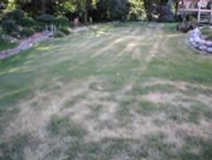 Moderate Lawn Fungus Disease with Mower Tracks