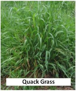 Picture of Quack grass
