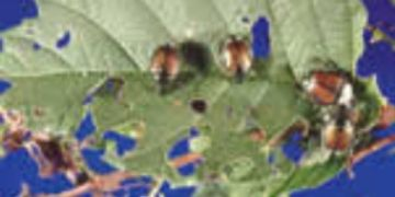 Japanese Beetles feeding on a leaf