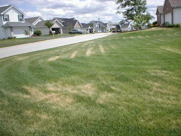 Tracks from mower due to fungus stress