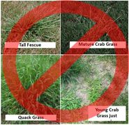 Problem Grasses Tall Fescue, Crab, Quack, Nimblewill Grass problem solver