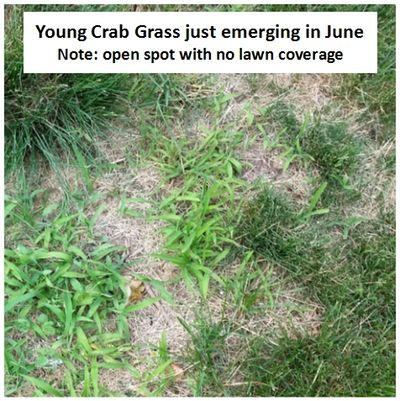 Young Crab grass in a lawn in Rockfrod IL aera