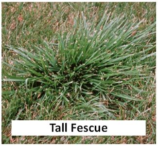 Tall Fescue in a northern IL lawn