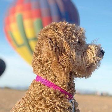 Stellar Doodles - Golden Doodle Puppies for Sale - Phoenix