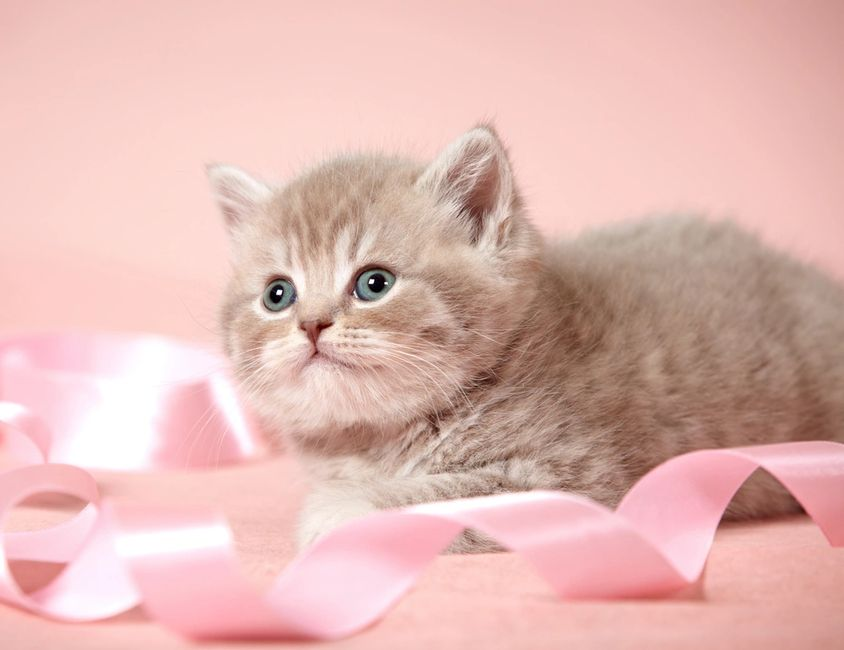 Persiankittens Com Persian Kittens For Sale Teacup Persian Kittens