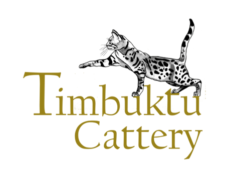 Timbuktu  Savannah Cattery
