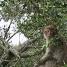 Gibraltar's Free ranging monkeys in the Upper Rock Nature Reserve